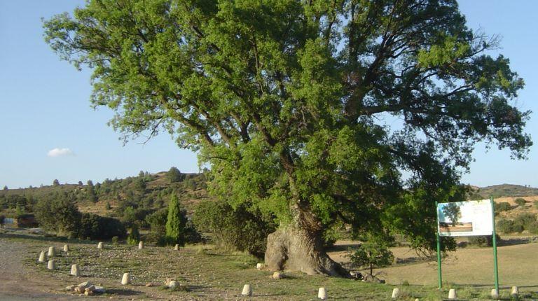 Casi 200 árboles monumentales de Castellón serán protegidos